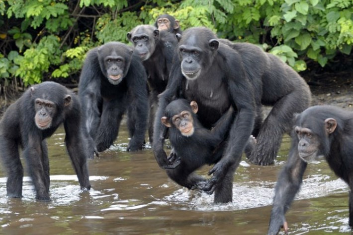 Liberia -lab -chimps _2016_09_13