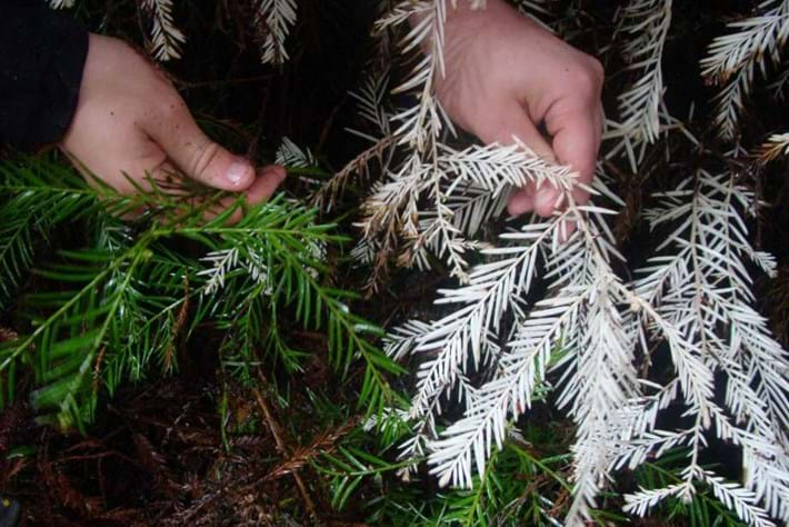 The mystery of California's 'albino' redwoods could be solved