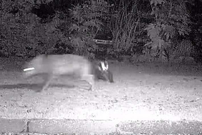 Badger -fox _2016_09_16