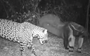 Giant anteater vs jaguar is a camera trap battle you don't want to miss