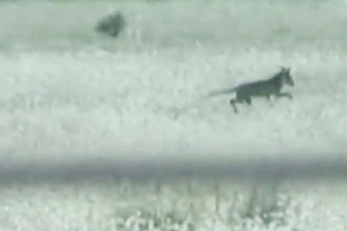 Has a living thylacine finally been spotted? Probably not.