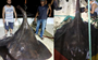 Is this the largest common stingray ever caught (and released)?