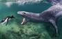 Divers meet giant leopard seals under Antarctic ice (VIDEO)