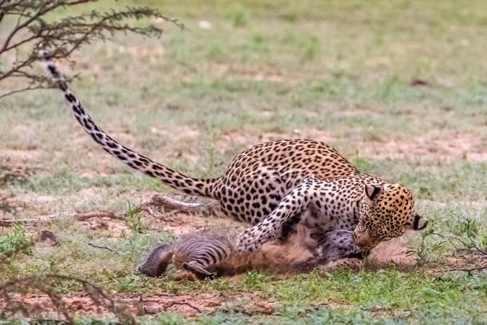Itumeleng_leopard_5_2016-09-27.jpg