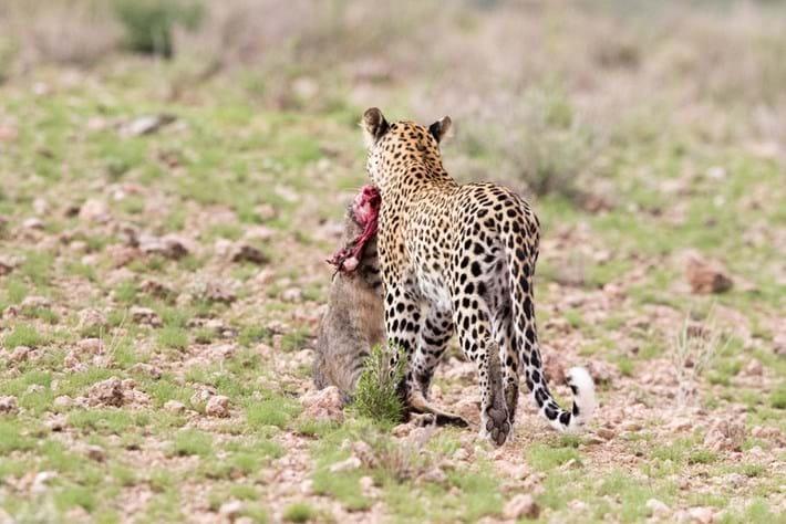 Itumeleng_leopard_2_2016-09-27.jpg