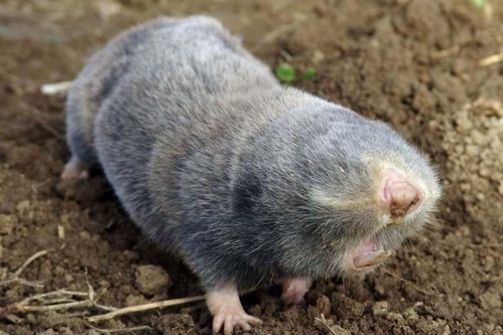 blind-mole-rat_2016_09_29.jpg