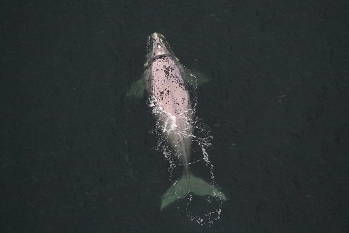 Rare 'grey morph' right whale spotted near sub-Antarctic island