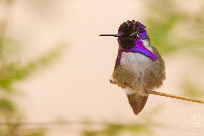 hummingbird-bird-2016-10-6.jpg