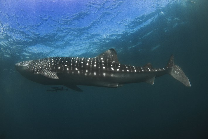 stumpy-whale-shark_2016_10_07.jpg