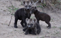 Tough week? This trio of hyena cubs will help