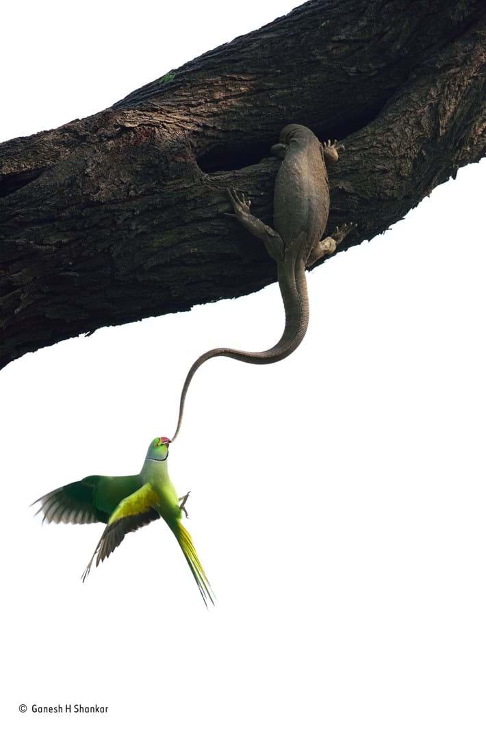 © Ganesh H. Shankar_Wildlife Photographer of the Year_ Birds winner_2016_10_18.jpg
