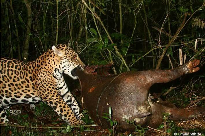 jaguar tapir_2016_10_19.jpg