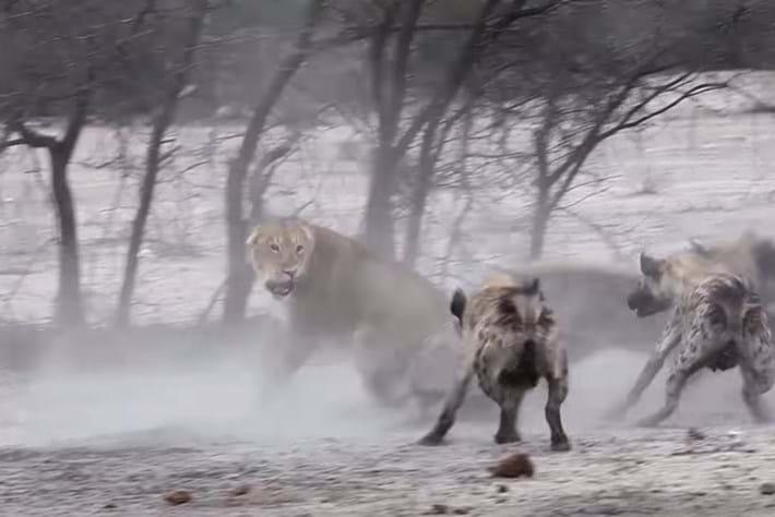 hyenas-vs-lioness_2016_10_25.jpg