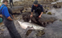 Watch: Divers try to re-float stranded great white shark in South Africa