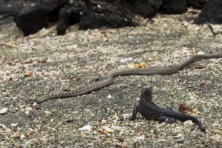 iguana-vs-snake_2016_11_14.jpg