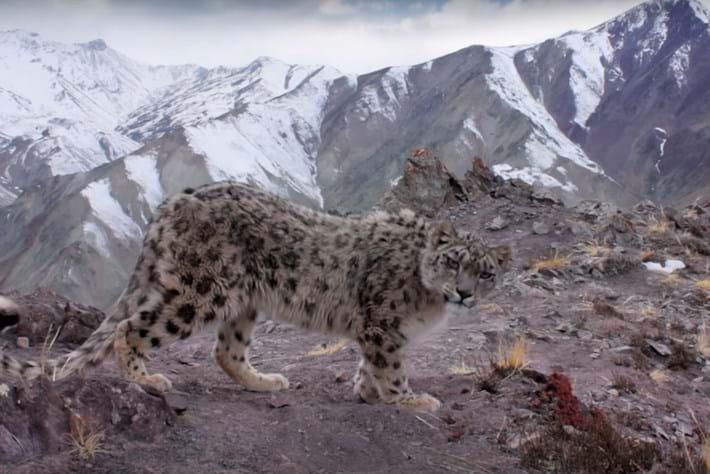 snow-leopard-thumb_2016_11_18.jpg