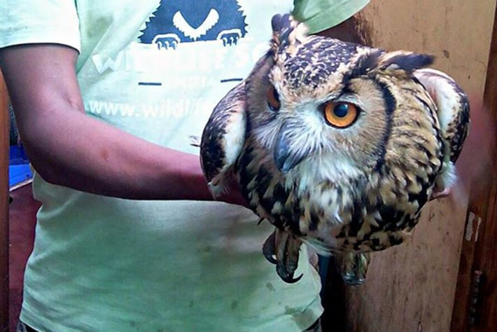 India's owls are still being killed for black magic and ritual sacrifice