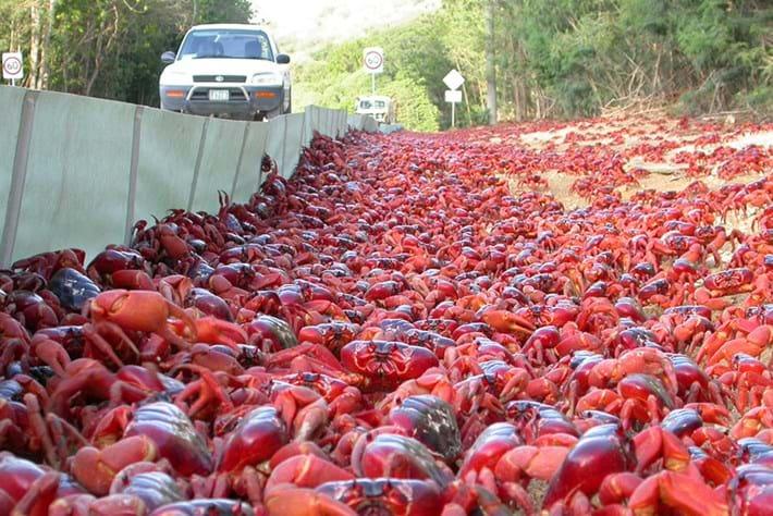 Red crab migration_2016_11_24.jpg