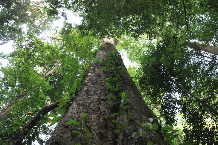 africa tallest tree_2016_11_30.jpg
