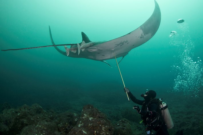 Katherine Burgess, taking a tissue sample of a giant manta ray in Ecuador- copyright Andrea Marshall.jpg