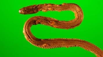 snake fungal disease2_2016_12_05.jpg