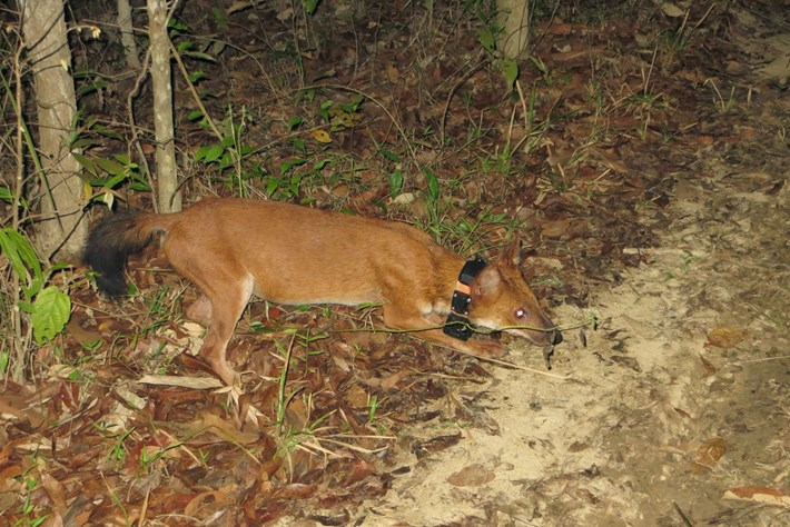 dhole-tracking-collar_2016_12_05.jpg