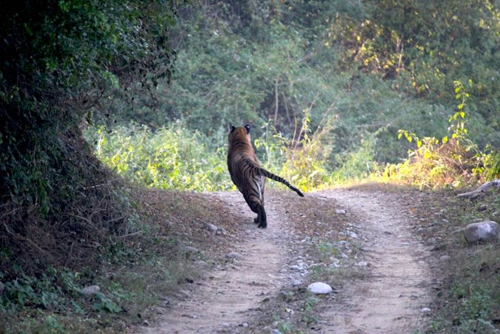 tiger_chases_jeep_3_2016-12-05.jpg