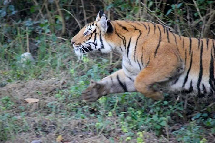 tiger_attacks_elephant_2_2016-12-05.jpg