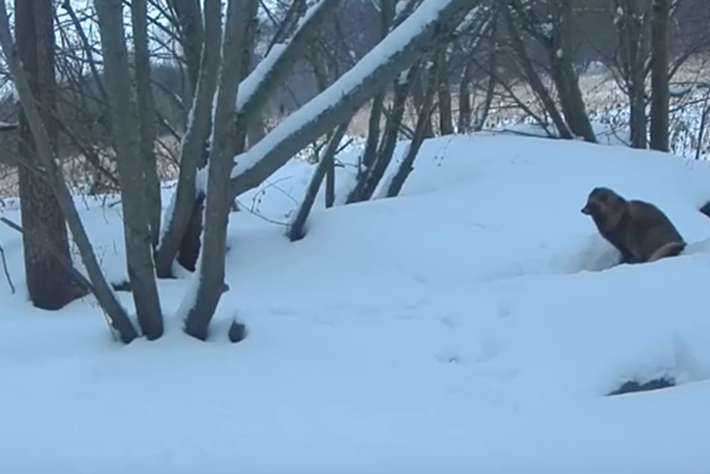 Raccoon dog makes a cameo on 'badger cam' in Estonia (VIDEO)