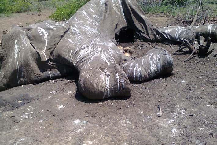 Charlie Elephant carcass_2016_12_06.jpg