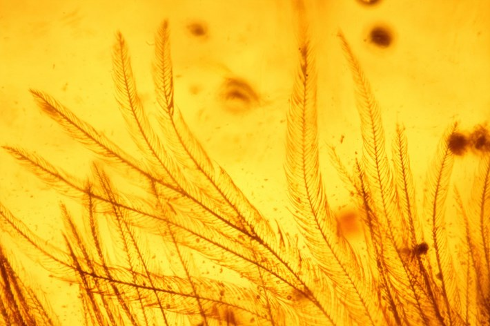 microscopic-barbules-on-tail-feathers_2016_12_08.jpg