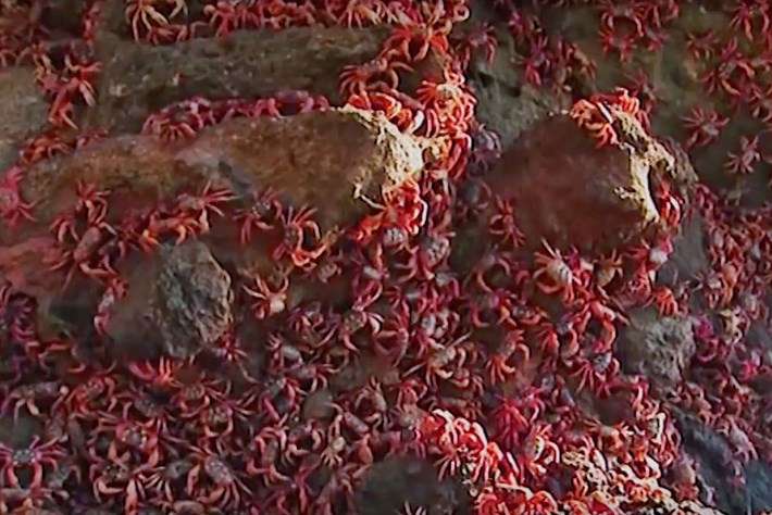 A tiny wasp could save Christmas Island's spectacular red crabs from crazy ants