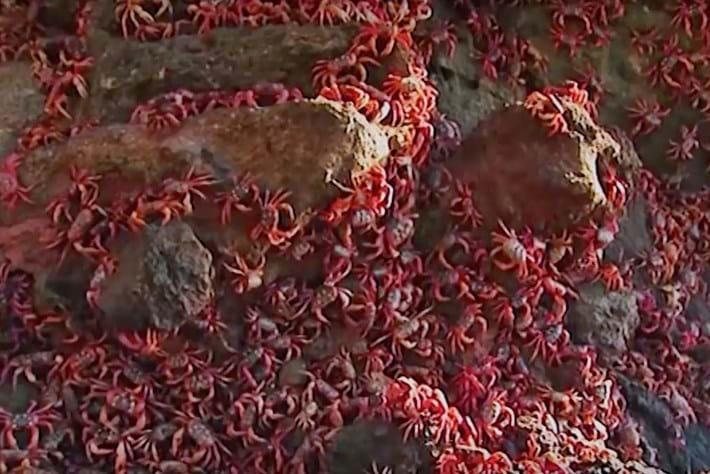 red-crabs_thumb_2016_12_12.jpg (1)