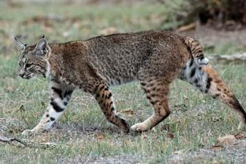 bobcat-fisingstory-2-2016-12-15.jpg
