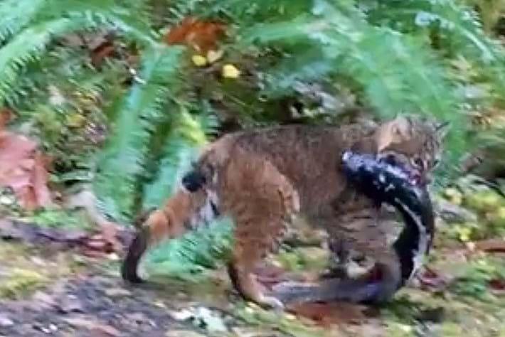 bobcat-fishing_2016_12_15.jpg