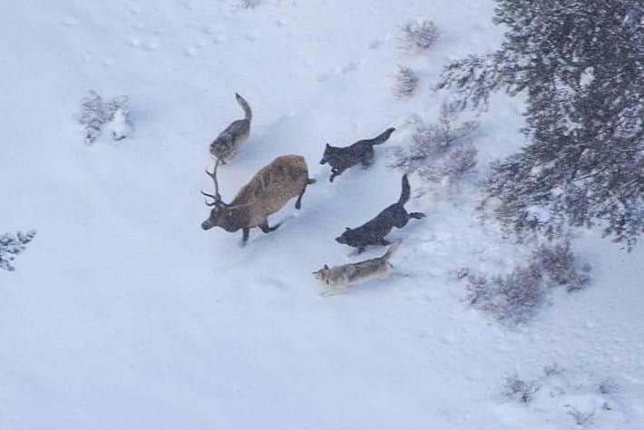 druid-wolves-thumb_2016_12_19.jpg