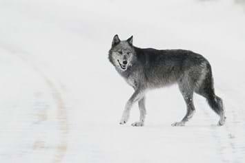 female-druid-wolf_2016_12_19.jpg