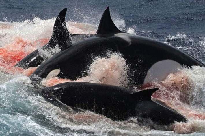 orcas-bloody-2016-12-18.jpg