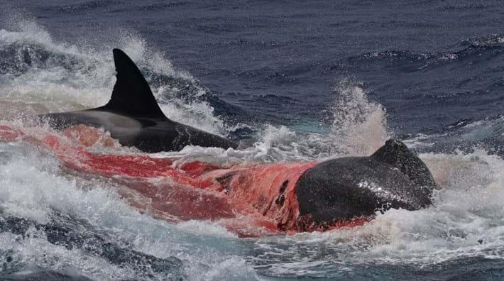 orcas-skin2-2016-12-18.jpg