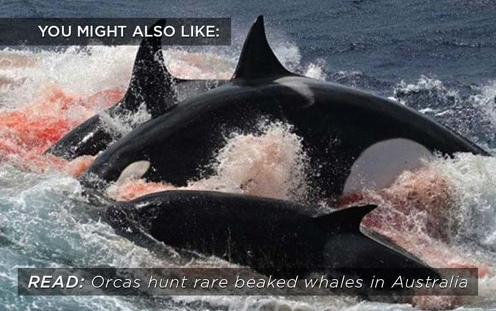 orcas-hunt_related_21_12_16.jpg