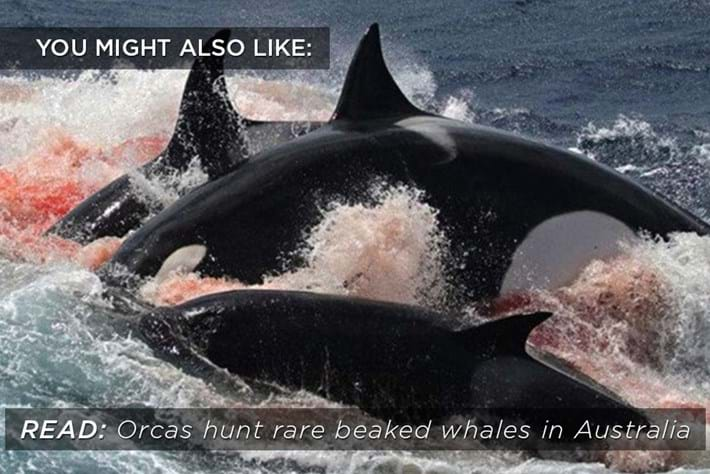 orcas-hunt_related_21_12_16.jpg
