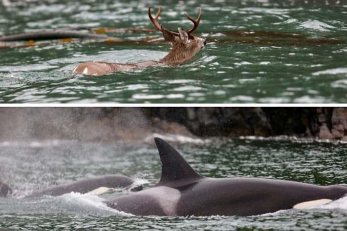 orcas_deer_thumb_2016_12_21.jpg