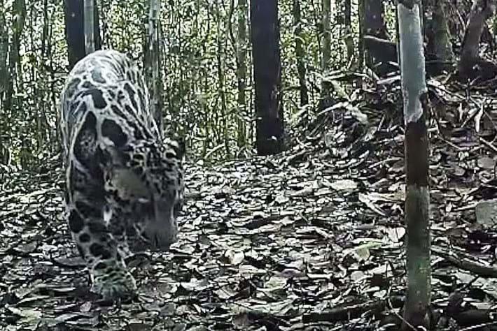sunda-leopard-thumb_2016_12_21.jpg