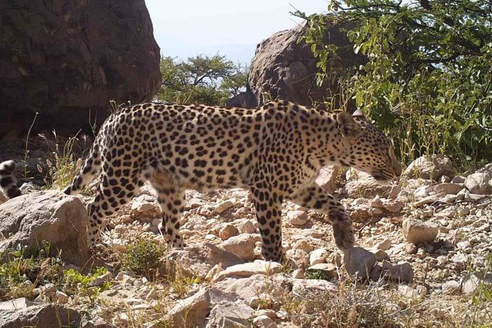 arabian-leopard1_2016_12_21.jpg
