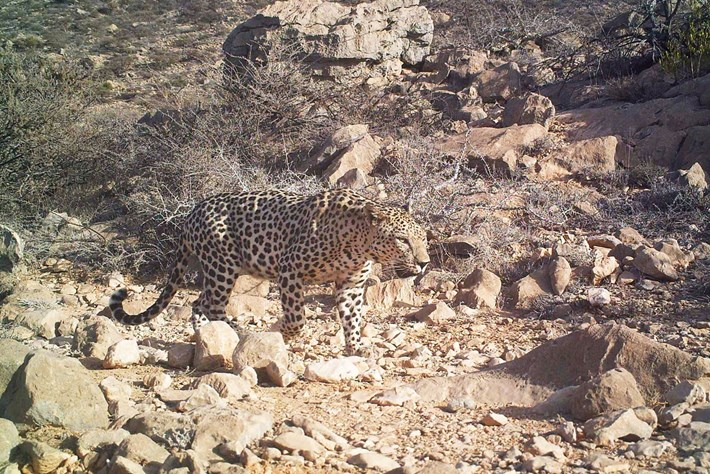 arabian-leopard2_2016_12_21.jpg