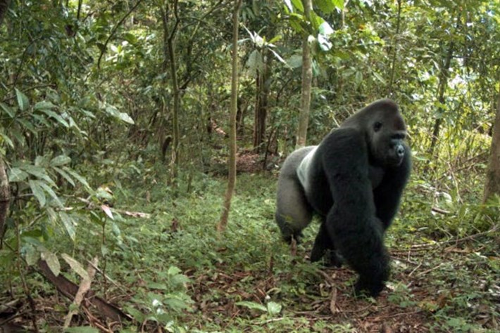 Nigerian 'superhighway' threatens endangered wildlife and local communities