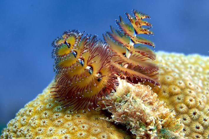Five fast facts about Christmas tree worms