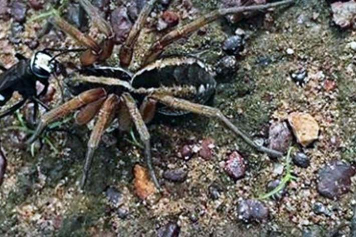 Parasitic spider wasp takes down wolf spider twice its size