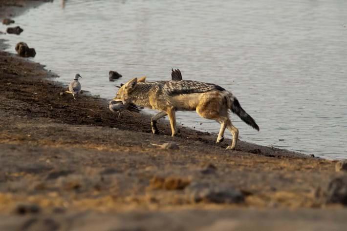 jackal with bird_2017_01_11.jpg