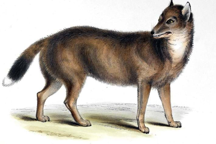 Falklands 'wolf' that baffled Darwin was actually more like a jackal – new study